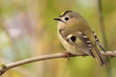 Wintergoldhähnchen / Goldcrest Just seen one of those outside my window. The goldcrest is the smallest European bird. To cute! ^^