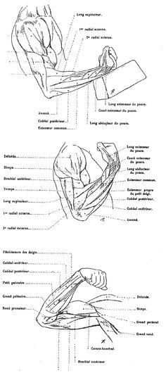 Anatomie - myologie du bras et du visage - tykayn blog - le vortex à chats