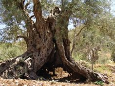 OLIVE TREE  //A section of the trunk of one of the ancient olive trees in Lebanon, scientifically dated at 4,000 years BC.