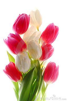 Tulipanes blancos y rosados