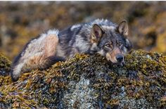 Grey Wolf Credit: Paul Nicklen