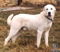Complete information about Akbash Breed