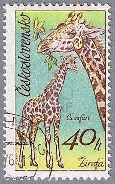 A stamp printed in Czechoslovakia shows giraffes in Dvur Kralove Zoo, circa 1976