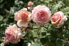 A tonic for black spot and powdery mildew on roses.  Mix these ingredients into a tonic, and spray on roses: 2 tsp of baking soda and 1/2 tsp of liquid soap or Murphy's oil soap in 2 qts of water. The tonic protects the roses for months.