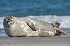 Common Seal. Photo by Andreas Trepte, 2007 (www.photo-natur.de)