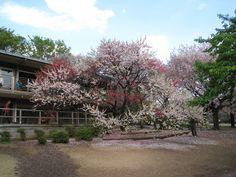 新宿御苑(sinjuku gyoen)、Tokyo、Japan、ハナモモ(Hana peach)、4色の花が同じ木に咲いている(Flowers of four colors are in bloom in the same tree)、紅、白、桃、絞り、My photo