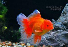 Comet Goldfish, Oranda Goldfish, Goldfish Pond, Salt And Water, Fresh Water, Types Of Gold, Angel Fish, Beautiful Fish, Colorful Fish