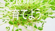 豆苗は何度でも食べれるとても嬉しい野菜。【豆苗の歌】pea sprouts
