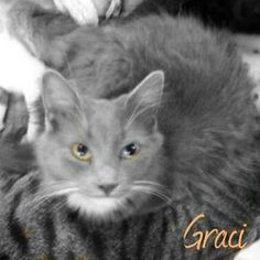 GRACI - URGENT is an adoptable Domestic Medium Hair - Gray And White Cat in Macon, GA.  Owner needs to place very soon or kitties will be taken by Animal Control due to a neighbor complaint. Graci is ...