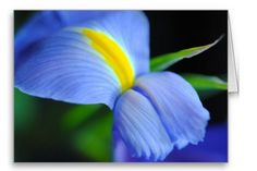 Blue and Yellow Iris Blank Greeting Card | Independent Art Gifts By Blooming Vine Design