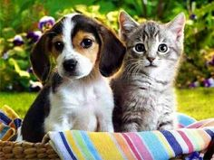 #beagle #americanshorthair #cat #dog