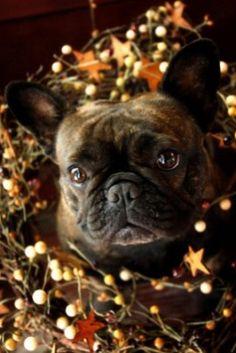 7 Inspiring bulldog puppies images | Dogs, Bulldog puppies