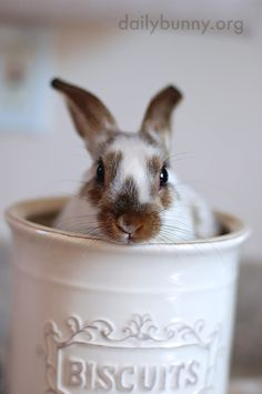 Bunny's in the Biscuit Jar — The Daily Bunny Cute Bunny Pictures, Rabbit Pictures, Hamsters, Daily Bunny, Cute Baby Bunnies, Some Bunny Loves You, House Rabbit, Bunny Tail, Honey Bunny
