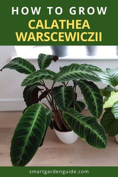 Everything you need to know about Calathea warscewiczii care. Also known as Calathea Jungle Velvet, this stunning Calathea has to be seen to be believed. With huge velvet leaves that are begging to be touched, this is easily my favorite Calathea. Get ready for a challenge though, as this is a tricky plant to keep happy. Indoor Flowering Plants, Blooming Plants, Outdoor Plants, Calathea Plant, Prayer Plant, Smart Garden, Pot Plants, House Plant Care, Garden Guide