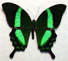 phillipines gross green