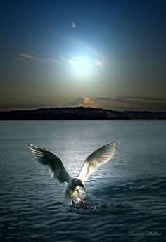 Photo of Seagull landing over the water for a catch. Beautiful blue sky and hint of a moon. Lovely reflection of light over the water. Beautiful nature photography!