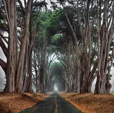 tree alley on the way to point reyes lighthouse