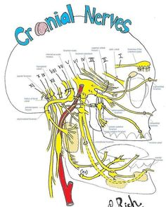 foramina of the facial nerves ANY head trauma or injury needs to be corrected with CranioSacral Therapy. Dental Anatomy, Brain Anatomy, Medical Anatomy, Human Anatomy And Physiology, Cranial Nerves Anatomy, Cranial Nerves Mnemonic, Skull Anatomy, Nerf Facial, Brain Models