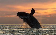 Ballena franca austral saltando en Puerto PIramides - Peninsula Valdes: Ushuaia, Peninsula Valdes, Baleen Whales, Real Nature, In Patagonia, My Land, Fauna, National Geographic, Animal Kingdom