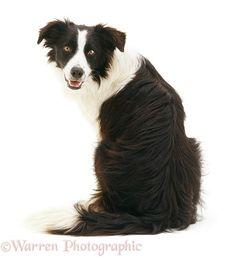 Border Collie dog looking over his shoulder
