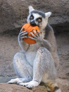 Is there such a thing as too much 🎃? 📷 by Mike Wilson Save Animals, Zoo Animals, Funny Animals, Primates, Mammals, All Animals Are Equal, Paws And Claws, Wildlife Art, Wildlife Photography