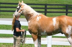 Thoroughbred Stallions | Sato - Palomino, Sabino, THoroughbred Stallion | Flickr - Photo ...