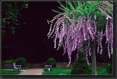 Purple Butterfly Bush Tree