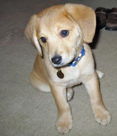 what we want. a lab/beagle mix....I realllllly need this little guy tooooo!