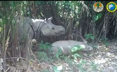 Sightings of Critically Endangered Baby Rhinos Raises Hope for the Species