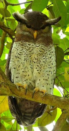 Spotted belly eagle wood owl