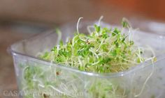 Growing alfalfa sprouts at home Alfalfa Sprouts, Sprouts Salad, Whole Food Recipes, Vegan Recipes, Recipe Boards, Seaweed Salad, Plant Based Recipes, No Cook Meals, Cooking Tips