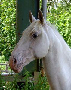 nobi- lipizzaner stallion head by the-other1