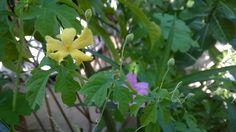 มะระขี้นก (Momordica charantia  L.)