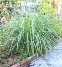 11 Fragrant Plants That Repel Mosquitoes - Gardening Tips Patio Plants, Cool Plants, Outdoor Plants, Garden Plants, Garden Beds, House Plants, Outdoor Gardens, Front Gardens, Plants Indoor