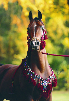 Thee Desperado Straight Egyptian Stallion www.twequineconsulting.com