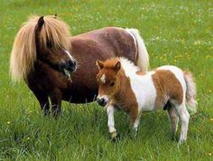 Falabella Miniature horse - One of the smallest breeds. Seldom taller than 32 inches at withers. Rare breed. From South American bloodlines.
