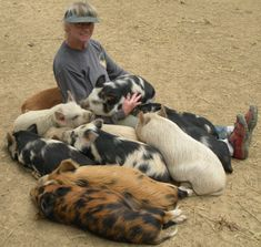 Kunekune Preserve USA - About the Kunekune Pig