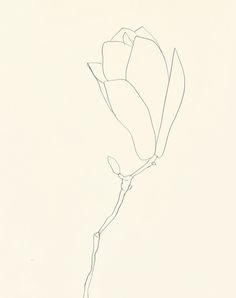 Ellsworth Kelly: Plant Drawings, Magnolia 1966