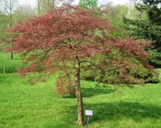 Japanese maple trees come in two major types: laceleaf and upright maple trees. Laceleaf trees have a weeping structure and lacy-appearing leaves while the upright trees grow mostly straight up and have more solid leaves.