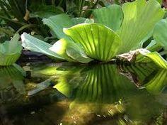 Resultado de imagen para plantas para acuario de agua dulce