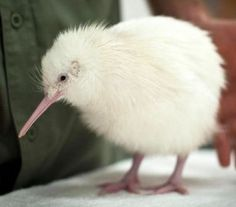 What an awesome little flightless kiwi bird