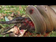 Most Amazing Wild Animal Attacks - The Big Snake Vs Crocodile - King Cor...