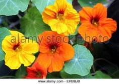 Image result for photographs of nasturtiums