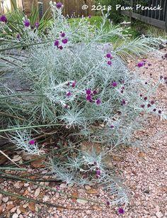 Silver Ironweed (Vernonia Lindheimeri Var. Leucophylla), A West Texas  Native, Thrives