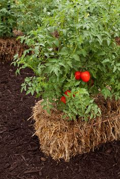 Bad soil or no soil? Try planting in straw bales instead | Lubbock Online | Lubbock Avalanche-Journal. This is a very interesting article. I plan to try this soon as weather permits!