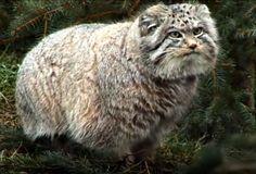 Meet the Pallas Cat: Fluffy! Wild! Kitty!