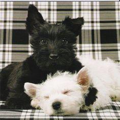 Scotty and Westie
