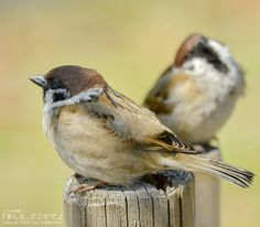 Sparrow Bird, Little Birds, Science And Nature, Beautiful Birds, Sparrows, Sketching, Creatures, Models, People