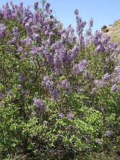 Syringa vulgaris Bulgaria 1 - Syringa vulgaris - Wikimedia Commons Syringa Vulgaris, Rocky Hill, Bulgaria, Planting Flowers, Plants, Wikimedia Commons, Travelling, Blog