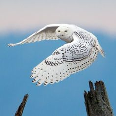 Snowy Owl, by Mick Thompson